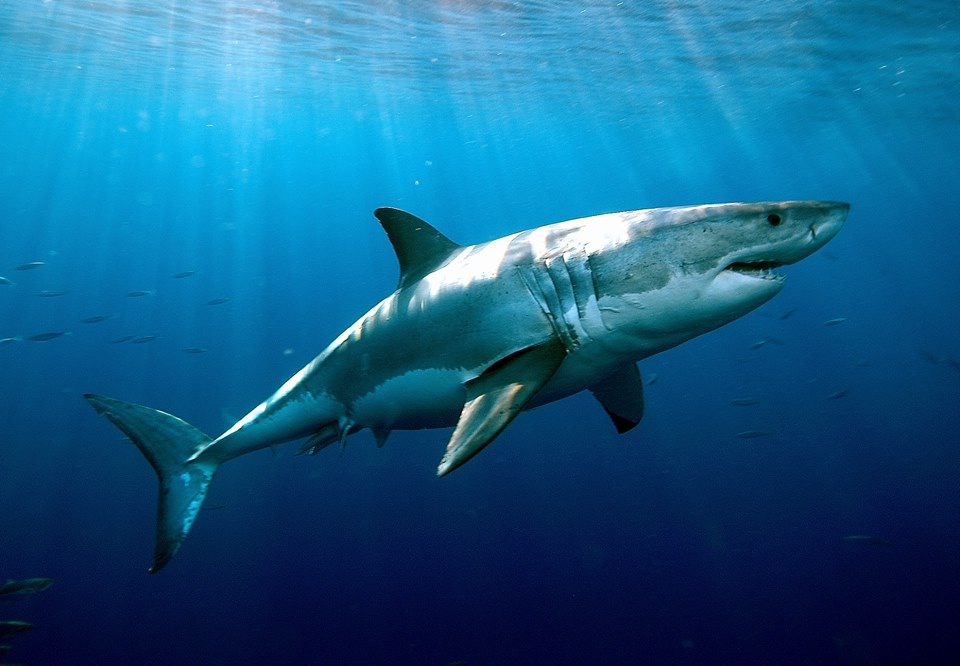 Shark Week offers pros and cons The Oracle