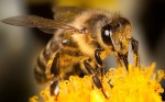 Bee Colonies Collapse by Fall: