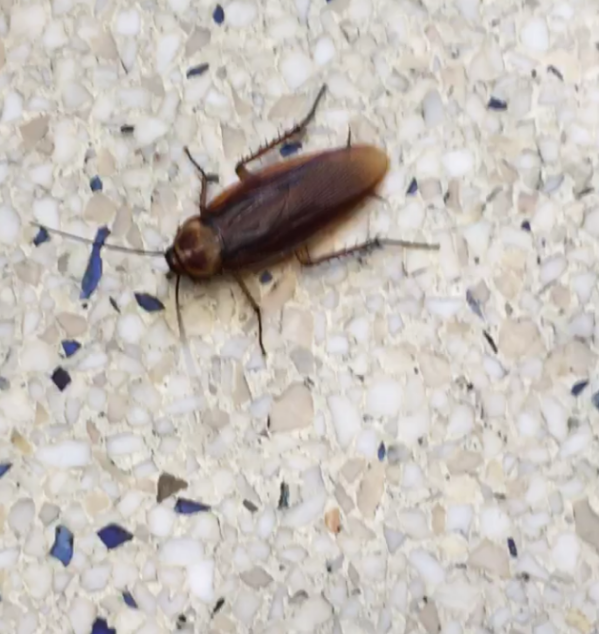 Cockroaches in Corr and campus infestation