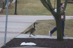 Pair of geese choose main campus for spring meeting