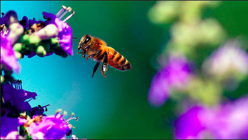 How the Bee Population Effects the Human Population